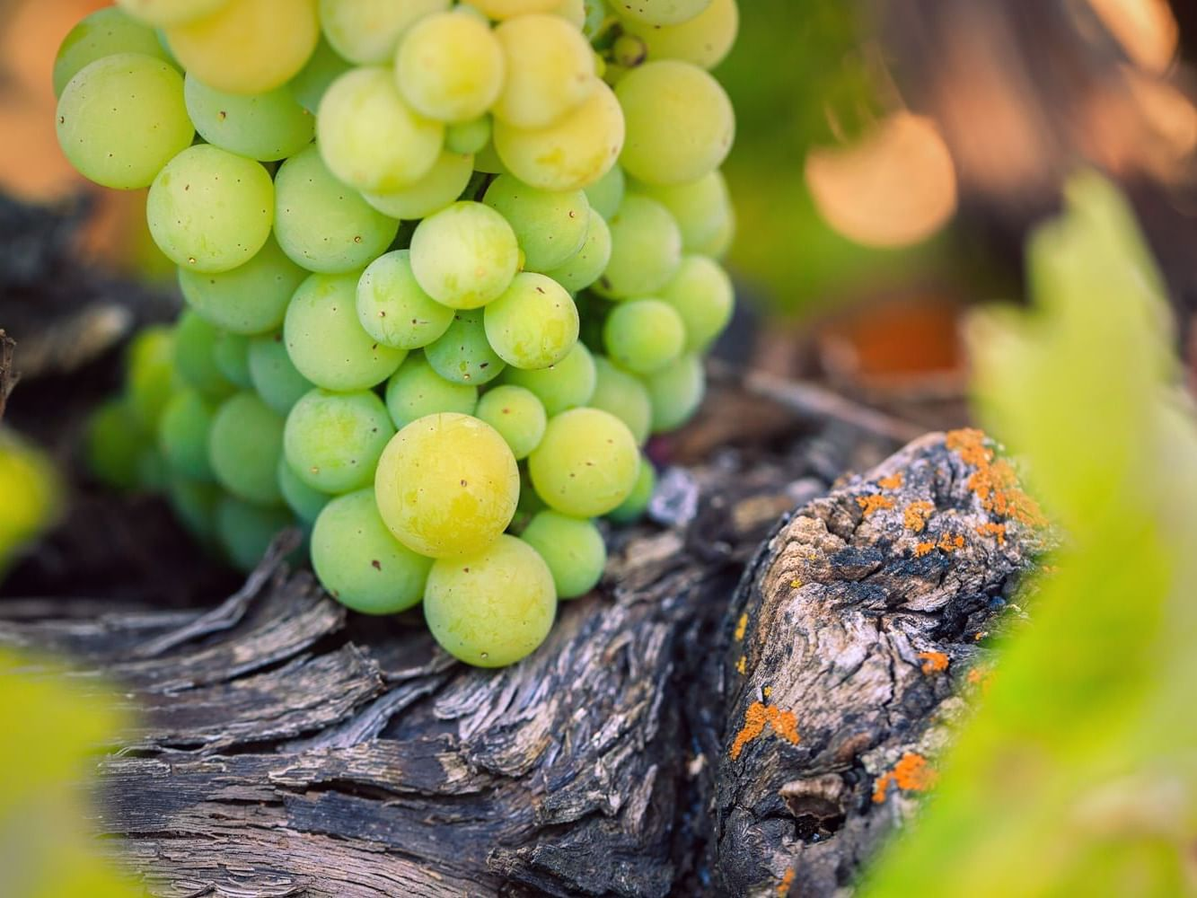 Green grapes hanging from vine