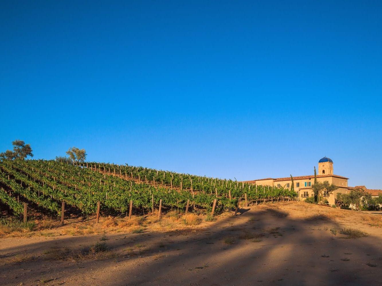 Dirt path alongside vineyard