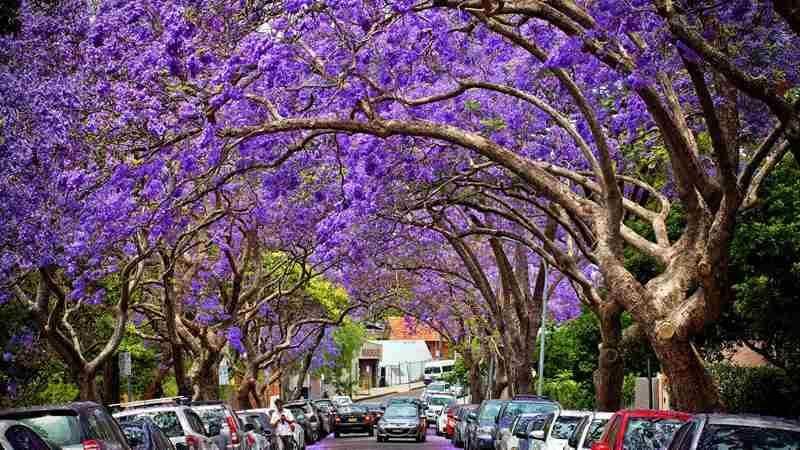 Purple Rain where to catch the best displays this jacaranda season