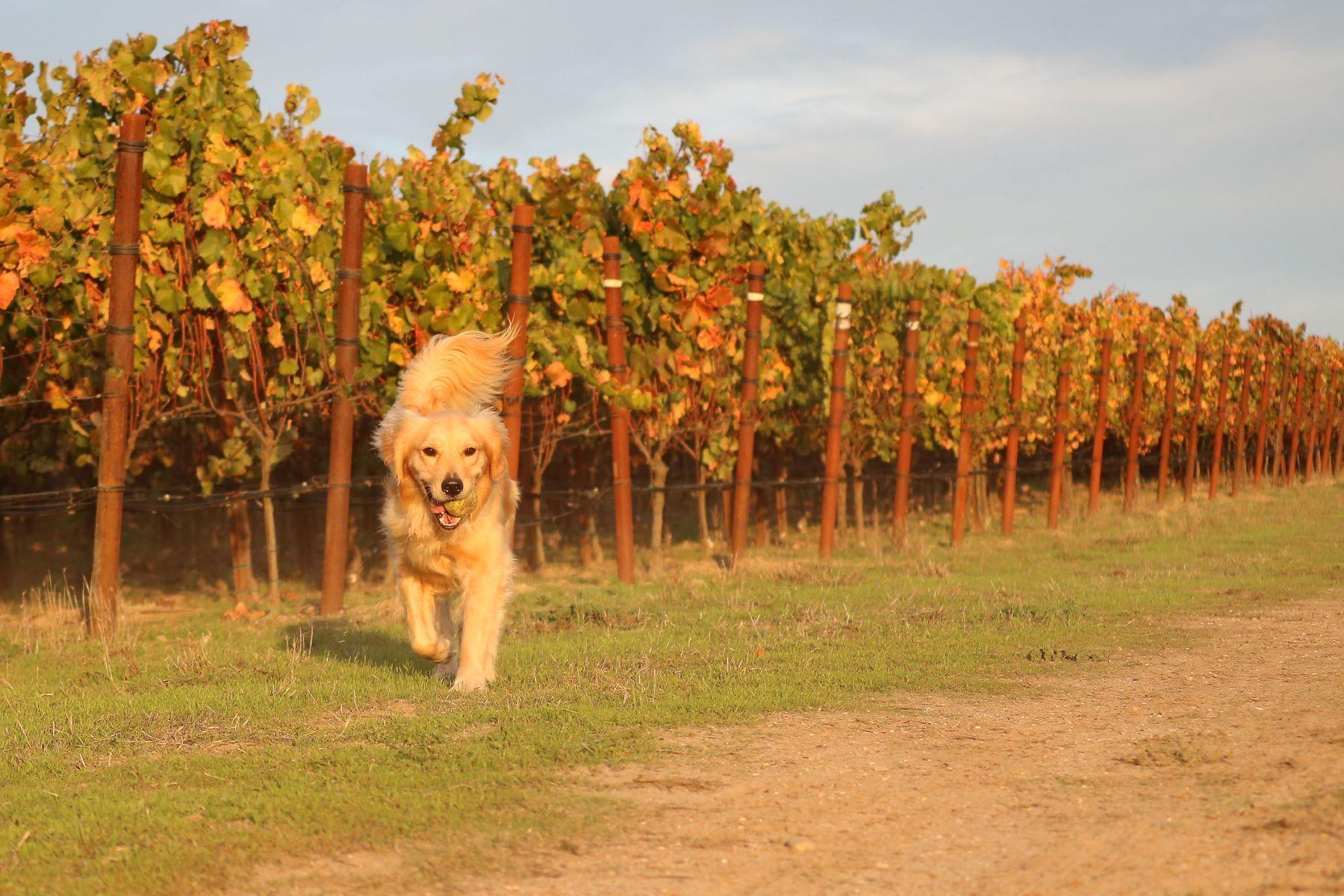 golden retriever running in vineyard