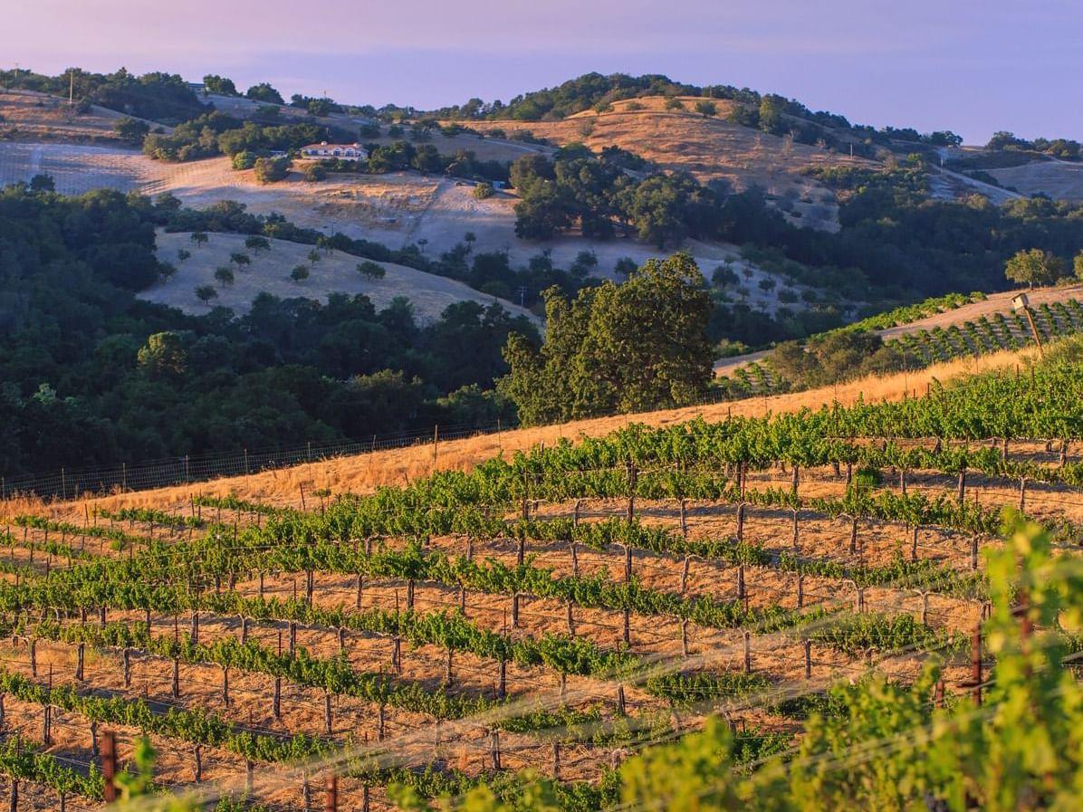 View of vineyard during sunset