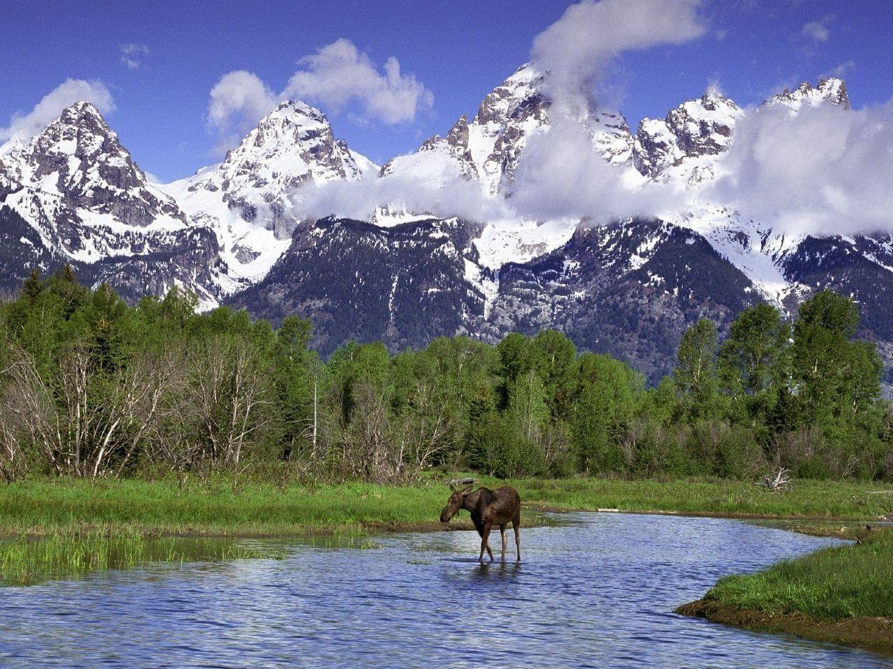 A moose crossing a river