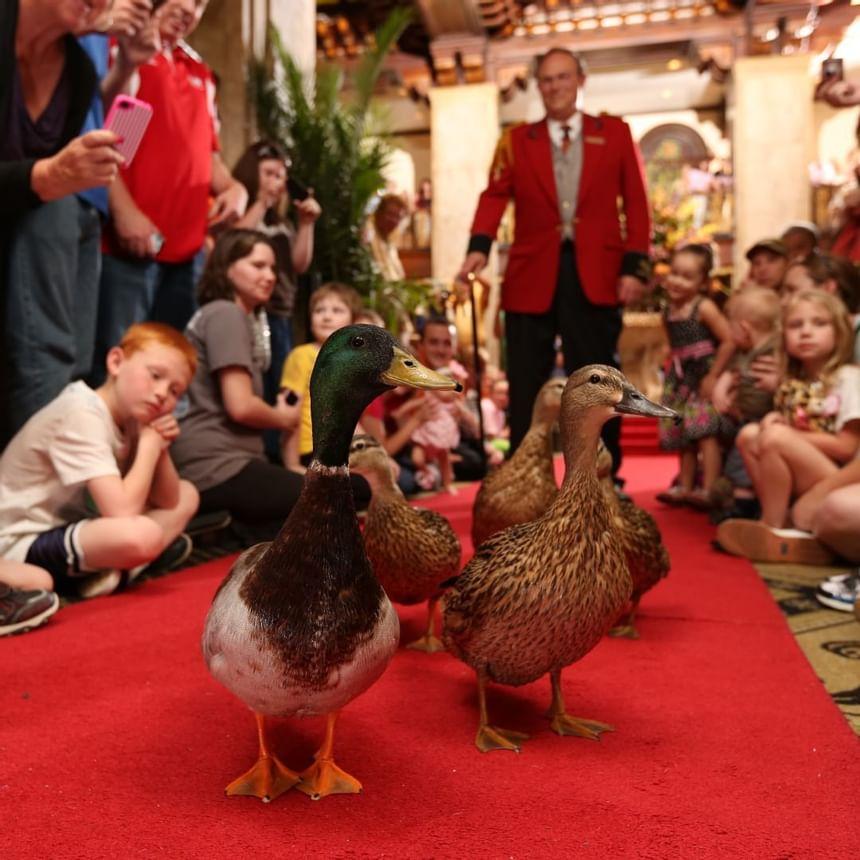 2012 image of Peabody Ducks at Peabody Hotels & Resorts