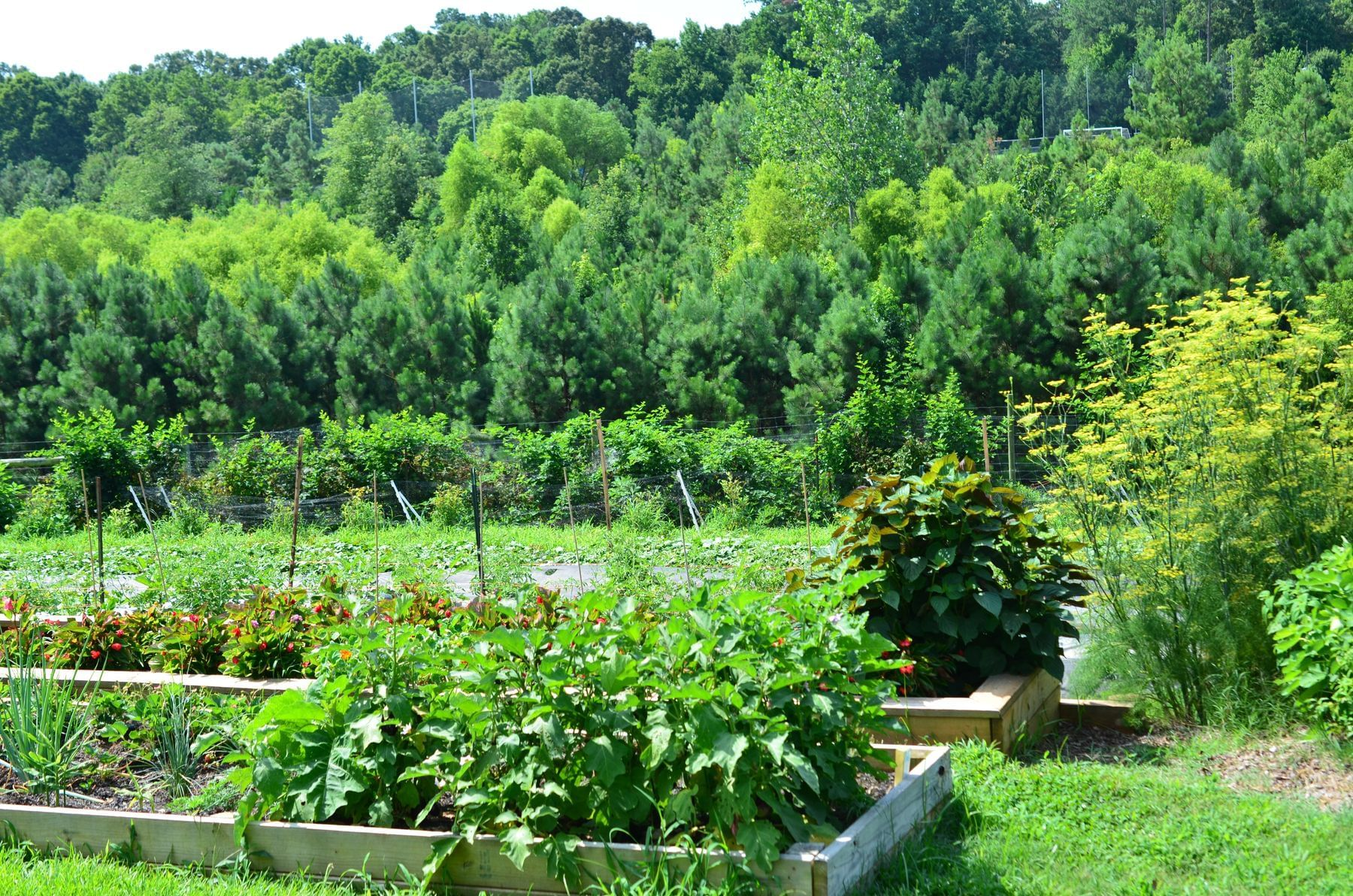 vegetables in a farm