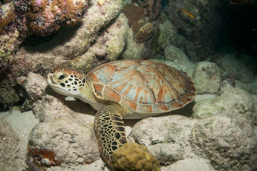 A turtle resting on rocks in sea near Windsong Resort On The Reef