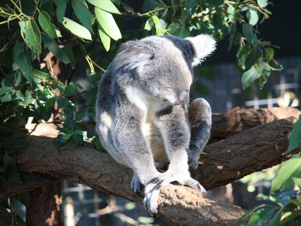Koala at Lone Pine Koala Sanctuary near George Williams hotel