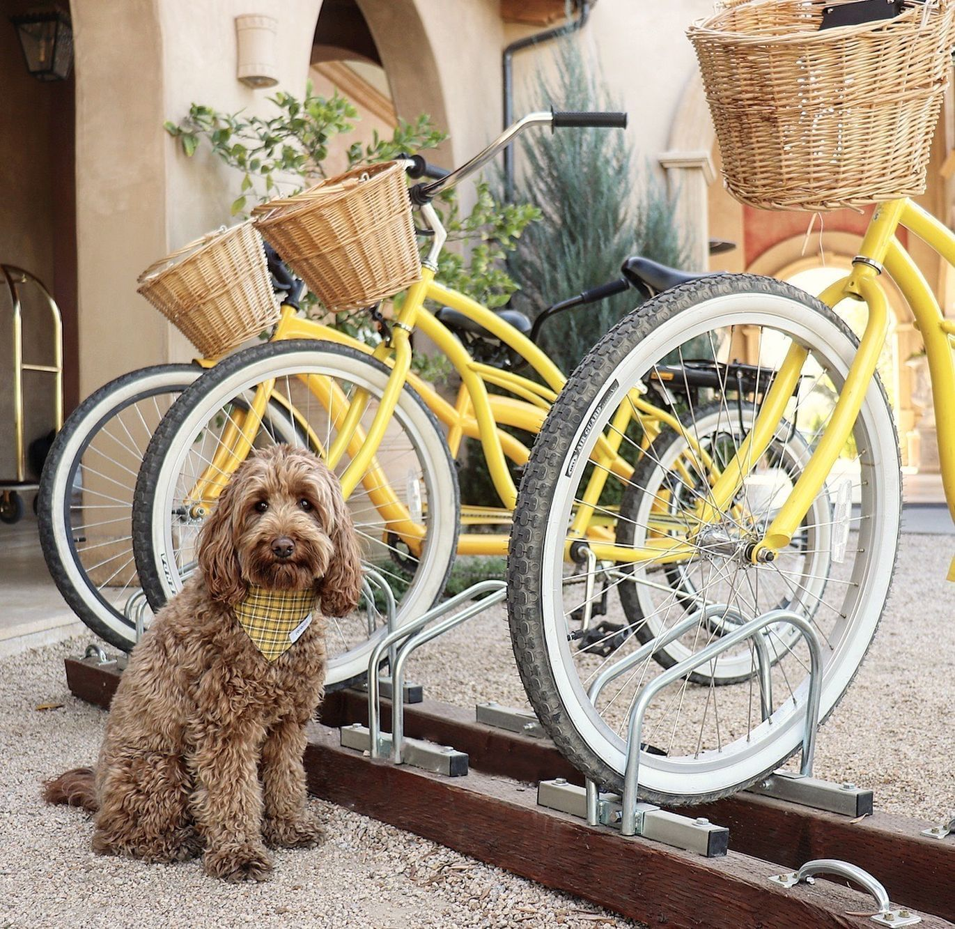 Labradoodle sitting in front of yellow bike