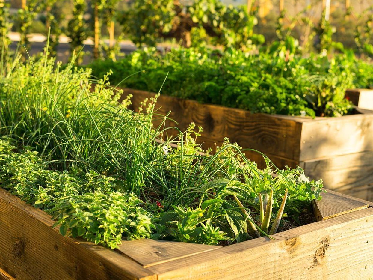 Planter with herbs in garden