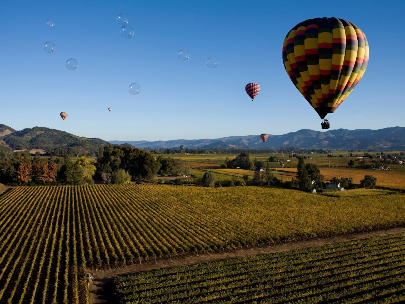 Hot air balloons hovering over Allegretto Vineyard vines