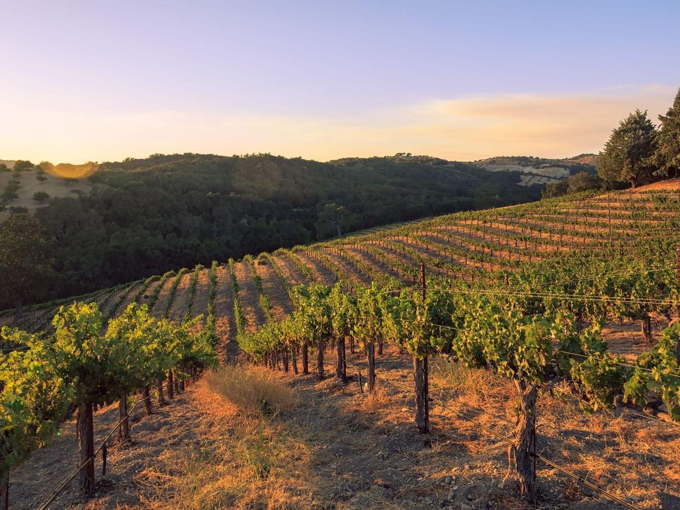 Allegretto Vineyard vines at sunset