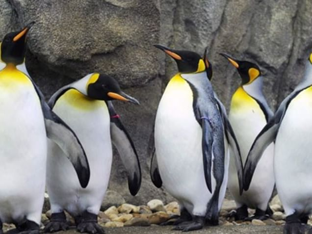 Penguins at the Calgary Zoo near Carriage House Hotel