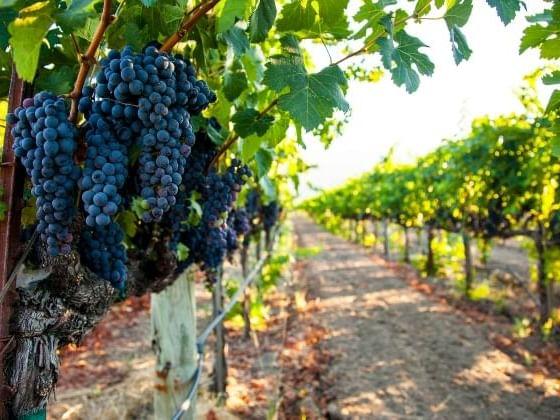 Grape plantation Mallorca