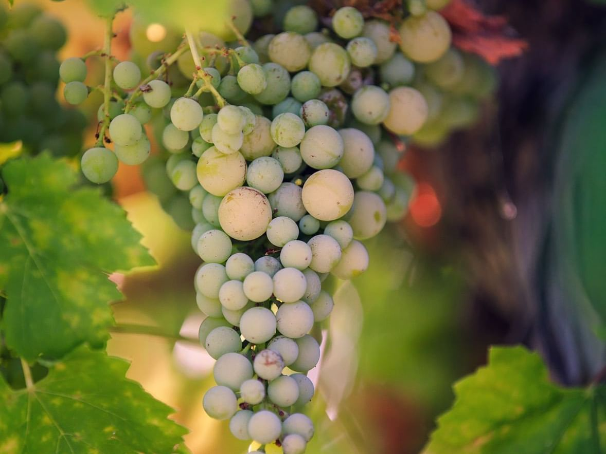 Allegretto Vineyard Grapes