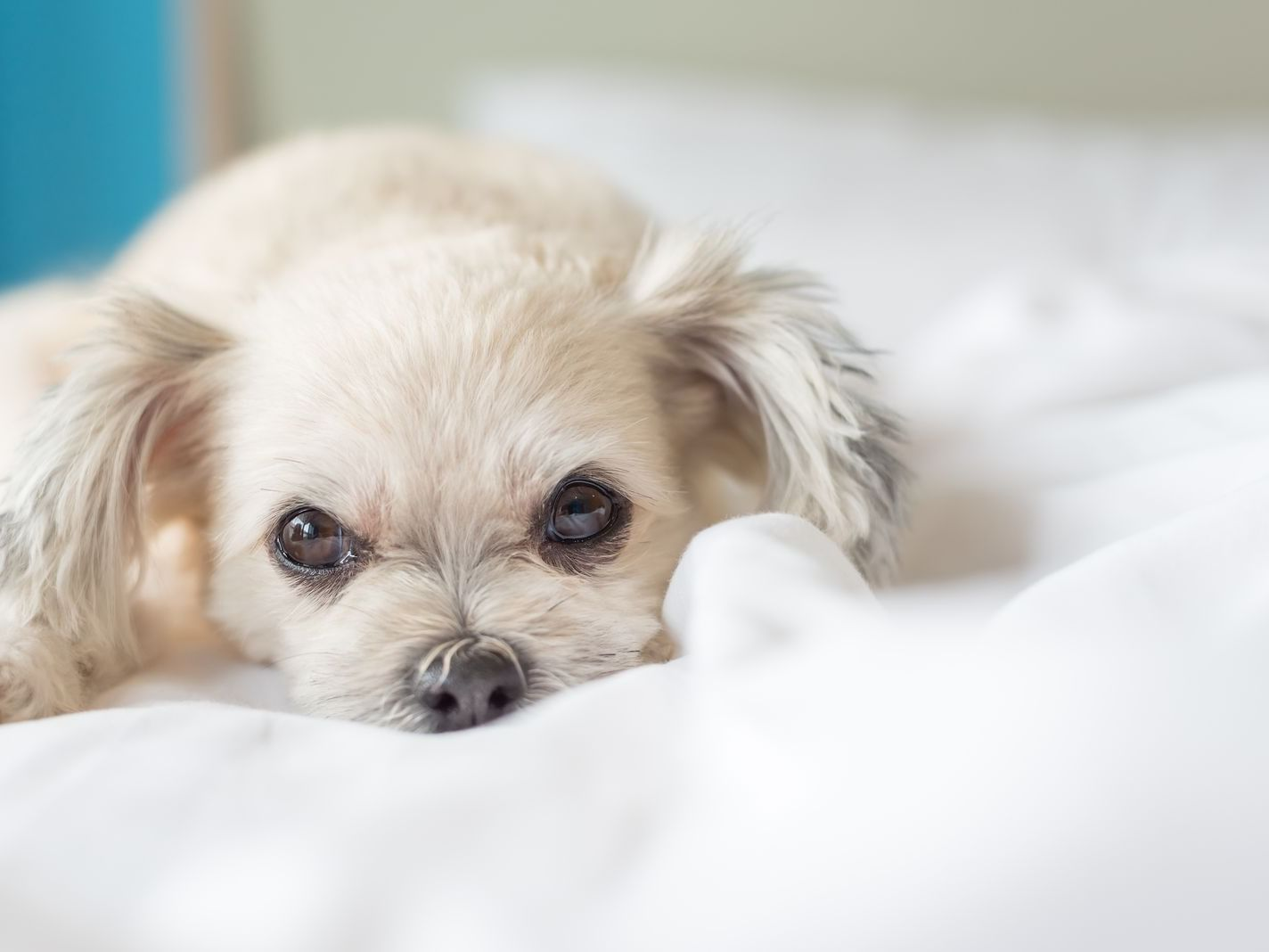 a small dog lying on a bed