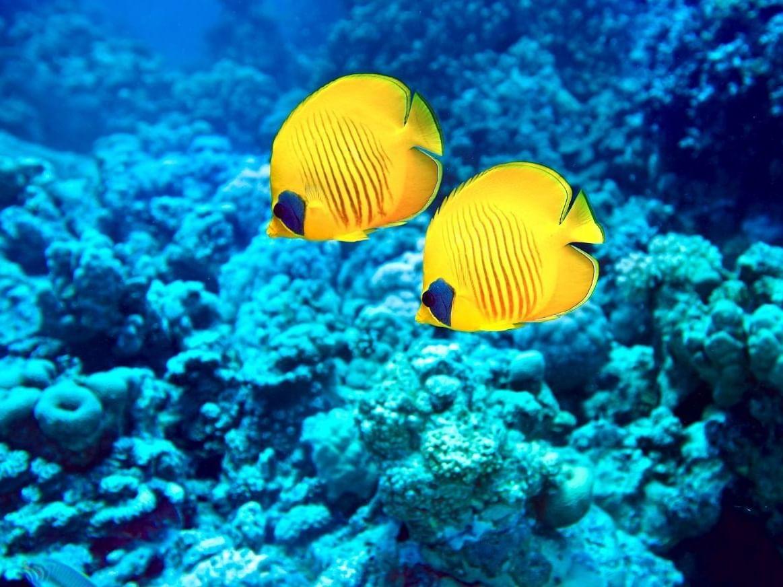 Yellow fish in corals in sea near Daydream Island Resort