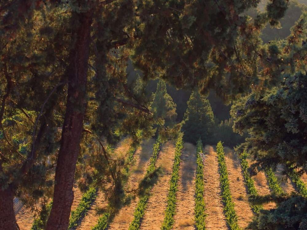 Allegretto Vineyard tree and vineyard vines in a distance