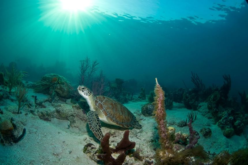Turtle looking up with sunrays in the ocean near Windsong Resort On The Reef