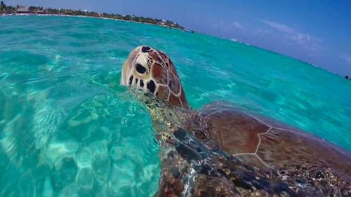 View of a turtle in sea water surface near The Reef Resorts