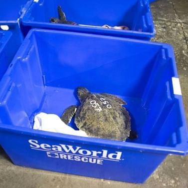 a turtle in a blue rescue bin at SeaWorld