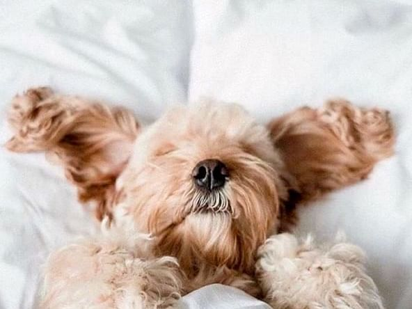 Yorkshire Terrier laying on a bed at Dream Downtown NYC