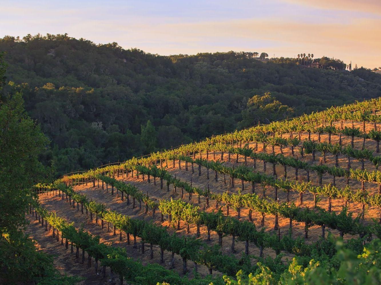 Allegretto Vineyard at sunset