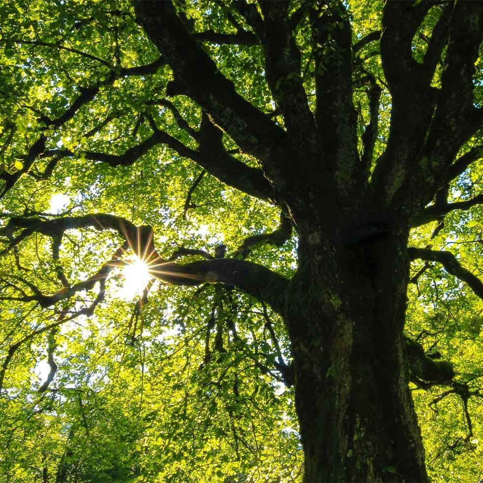 Thousand Year Old Oak Tree near Falkensteiner Hotels and Residences