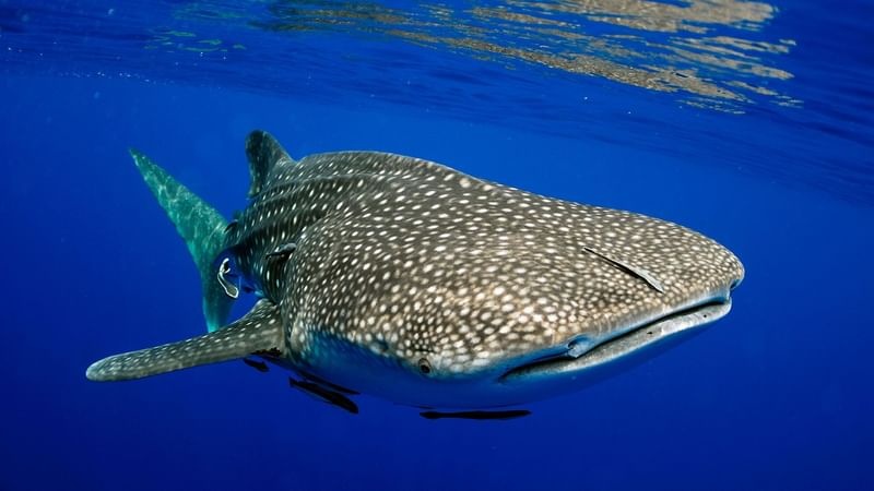 A view of whale shark in deep sea near The Reef resorts