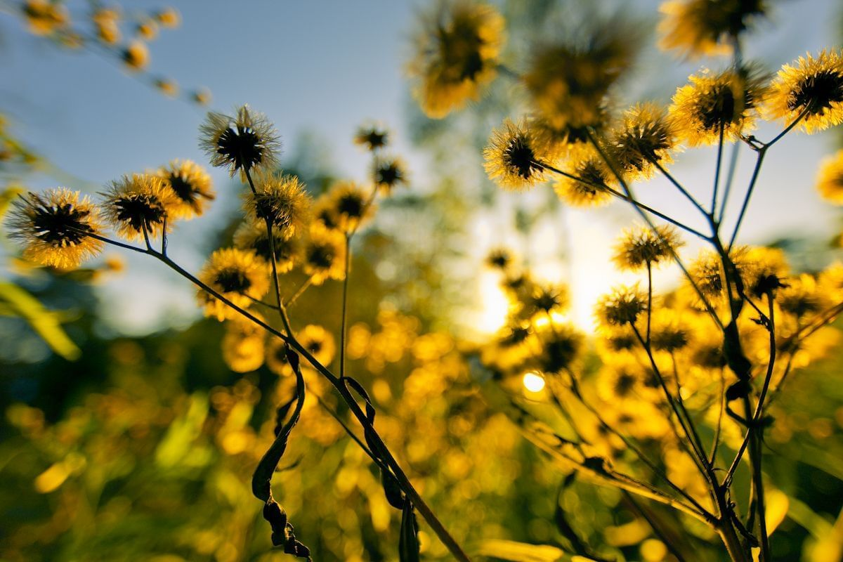 yellow flowers and sky