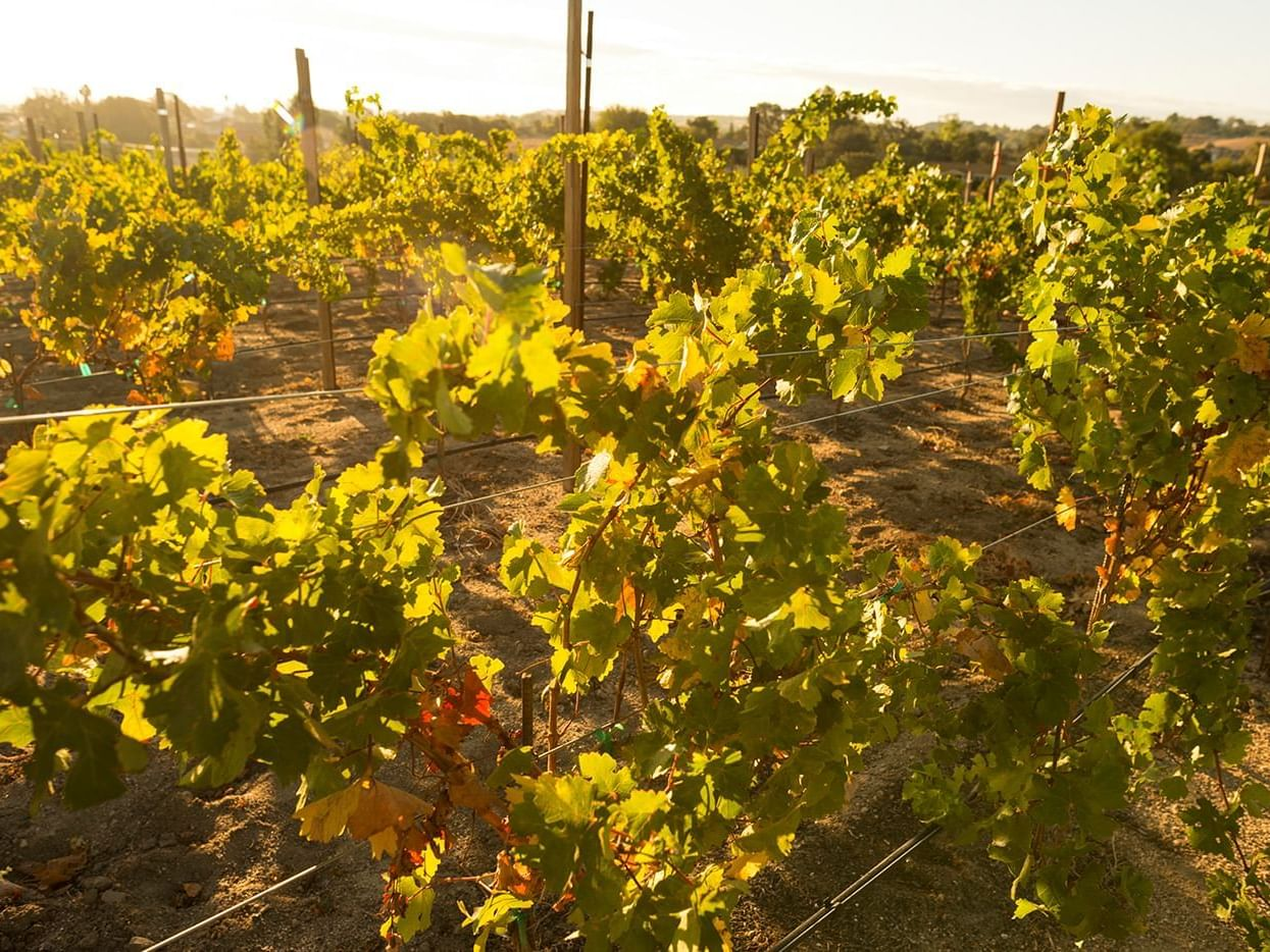 Vineyard grapevines at sunset