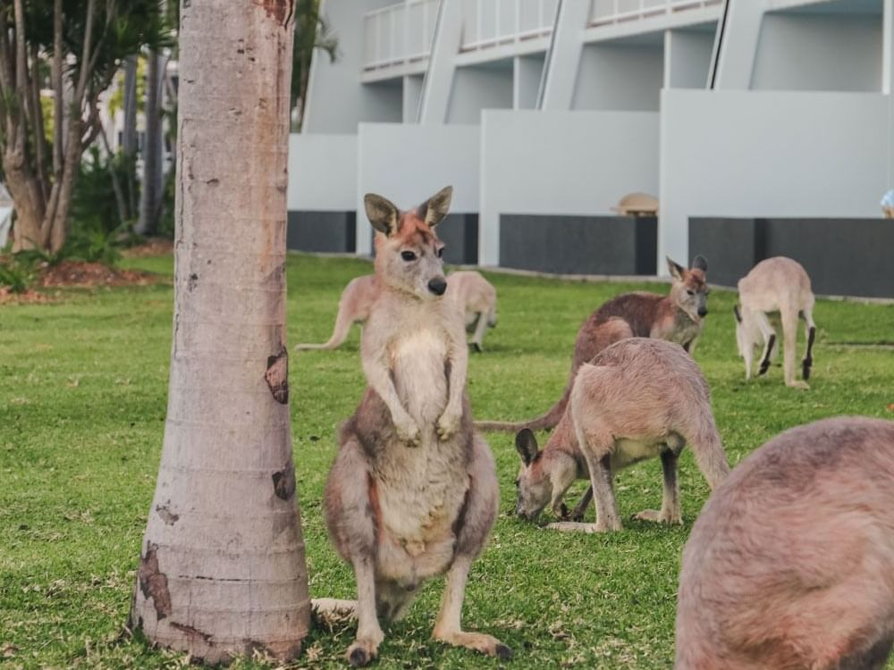 Kangaroos in garden near Daydream Island Resort