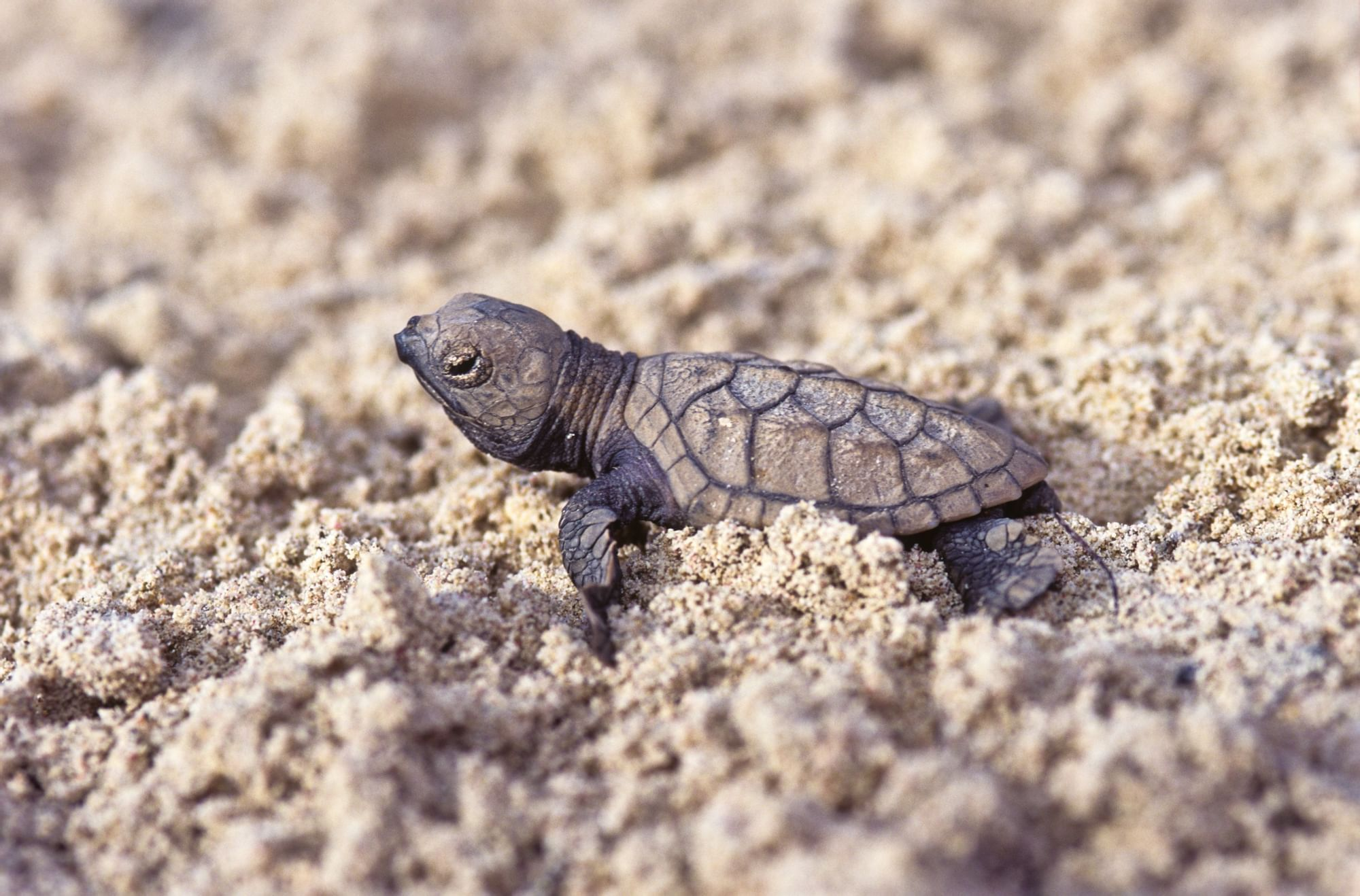 Hawksbill sea turtle hatching on the beach