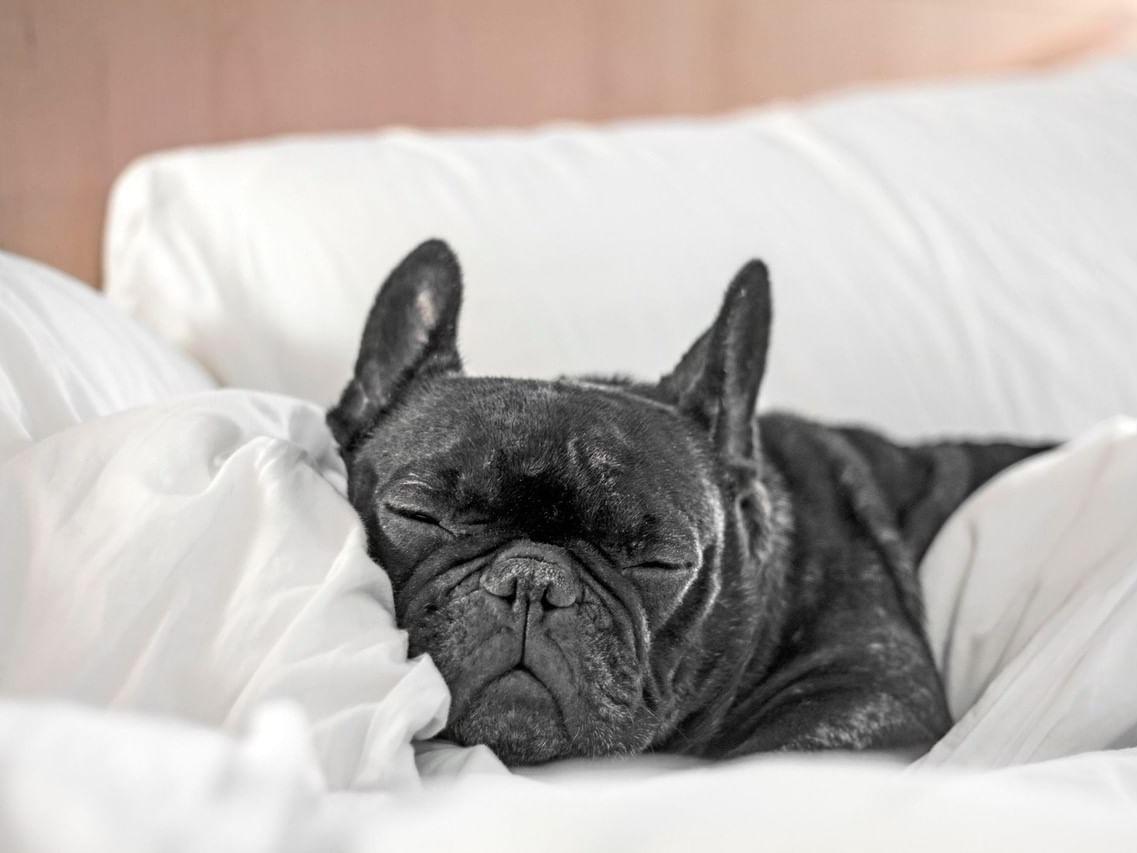 Black boston terrior in bed