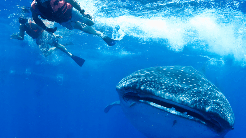 Two divers swimming with a whale shark in deep sea near The Reef Resorts